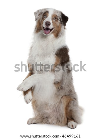 Australian Shepherd dog, 4 Years Old, sitting in front of white background - stock photo