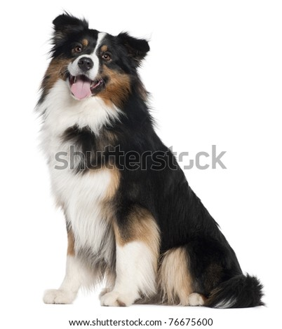 Australian Shepherd dog, 2 years old, sitting in front of white background - stock photo