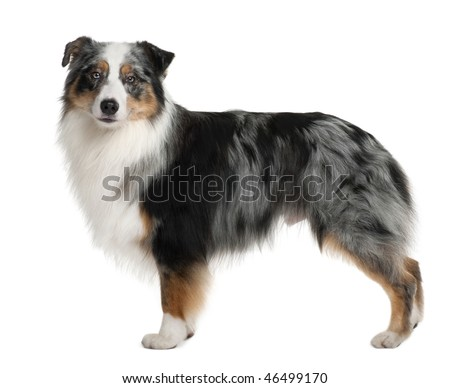 Australian Shepherd dog, 3 years old, standing in front of white background - stock photo