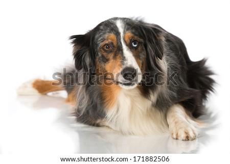 Australian Shepherd isolated on white - stock photo