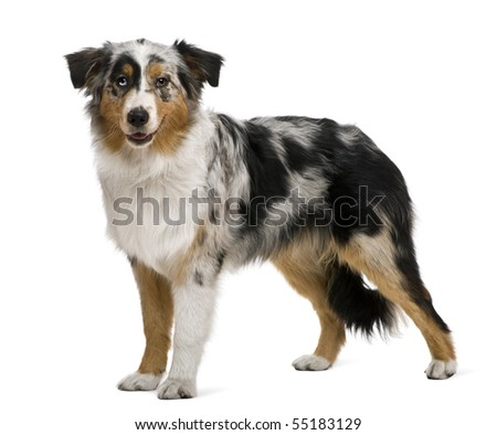 Australian shepherd, 6 months old, in front of white background