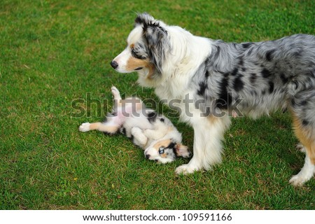 Australian Shepherd mother playing game with her puppy - stock photo
