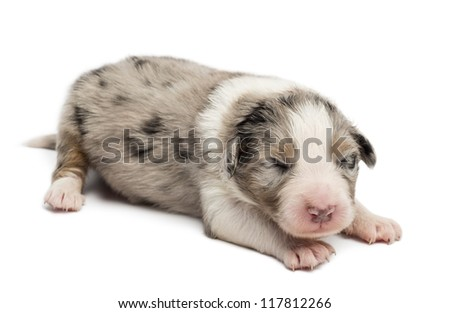 Australian Shepherd puppy, 10 days old, lying against white background