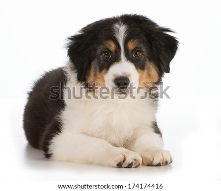 Australian Shepherd puppy laying down looking at viewer isolated on white background - 12 weeks old