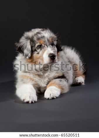 Australian Shepherd puppy lying on the floor patiently waiting for its master to step into the room.  The detail is amazing, especially in the eyes of the dog.  The markings are very colorful.