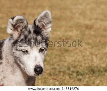 Australian shepherd puppy mix walking at a dog park - stock photo