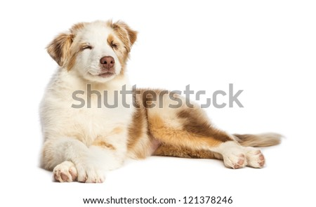 Australian Shepherd puppy, 3.5 months old, lying with eyes closed against white background