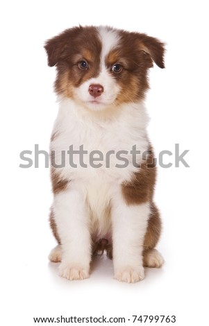 Australian Shepherd puppy on white - stock photo