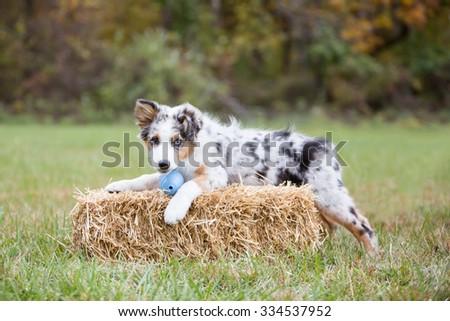 Australian Shepherd puppy outside laying on hay - stock photo