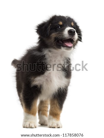 Australian Shepherd puppy, 8 weeks old, standing and alert against white background