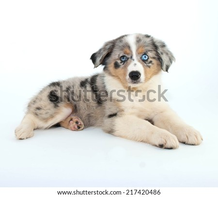 Australian Shepherd puppy with a blue eye laying on a white background. - stock photo