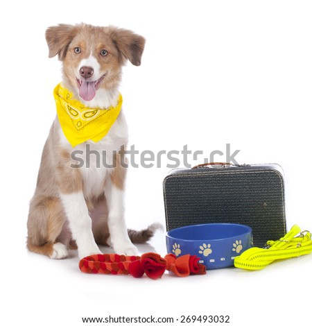 Australian shepherd puppy with travel kit isolated