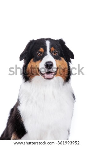 Australian Shepherd, studio portrait dog on a white background - stock photo