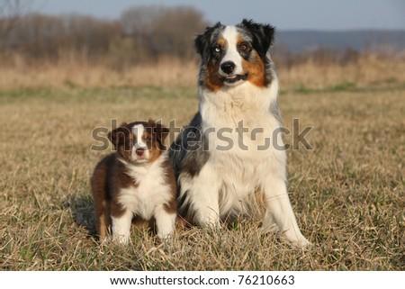 Australian shepherds - stock photo