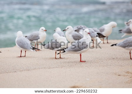 Australian Silver Gulls at the Beach - Chroicocephalus novaehollandiae  - stock photo