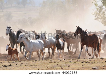 Australian stock horses on a cattle farm cantering in paddock with dusty background - stock photo