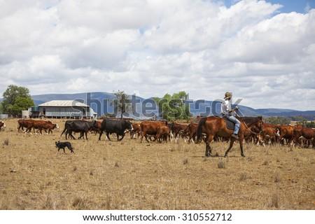 Australian stock man with cattle - stock photo