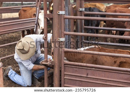 Australian stockman checking cattle  - stock photo