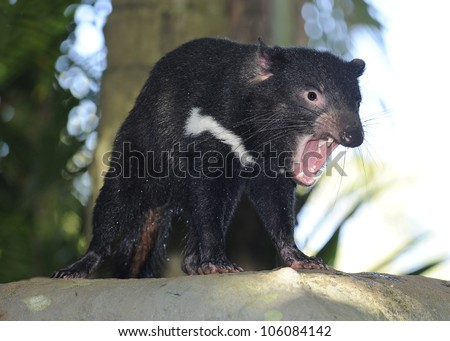 australian tasmanian devil snarling showing teeth, queensland, australia - stock photo