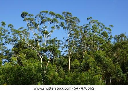 australian top tree canopy & Australian Top Tree Canopy Stock Photo 547470562 - Shutterstock