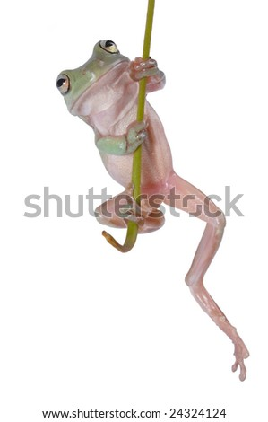 Australian Tree Frog Litoria caerulea hang on Branch - stock photo