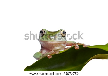 Australian tree frog Litoria caerulea on the leaf - stock photo