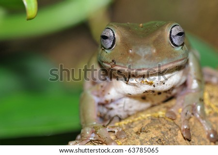 Australian tree frog (Litoria caerulea) sits on a tree