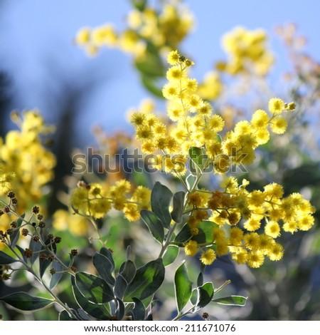 Australian Wattle in bloom  1 - stock photo