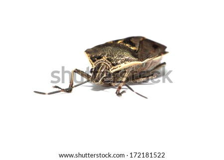 Australian weevil on a white piece of paper
