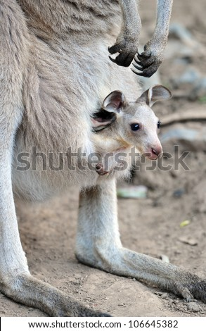 Australian western grey kangaroo with baby joey in pouch, new south wales, australia - stock photo