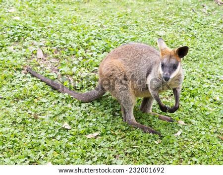 australian wildlife a kangaroo,Australian black striped wallaby - stock photo
