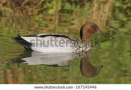 Australian Wood Duck - Chenonetta jubata Male - stock photo