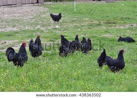 Australorp chicken on a farm. - stock photo