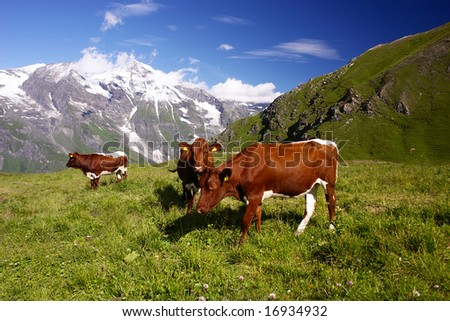 Austrian Cows in The Alps - stock photo
