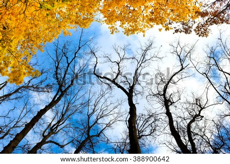 Autmn yellow trees below view with blue sky and white clouds as background - stock photo