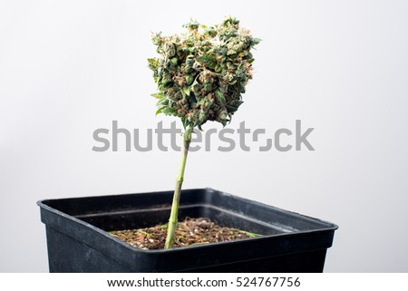 Autoflowering strain of medical marijuana bud and potted plant