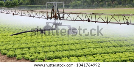 automatic sprinklering system of a cultivated field of green lettuce in summer