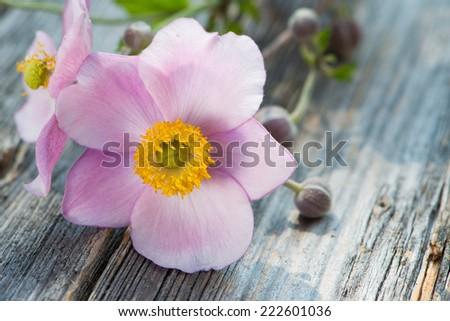 Autumn anemones on wooden background  - stock photo