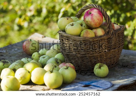 Autumn apples harvest