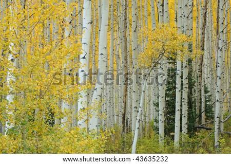 Autumn aspens (Populus tremuloides) Elk Mountains Colorado, USA - stock photo