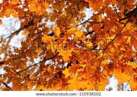 Autumn background with red oak leaf, selective focus - stock photo
