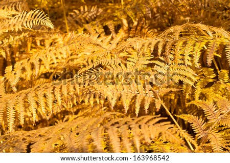 Autumn background with yellow ferns