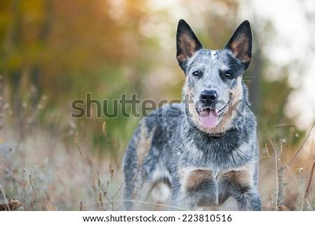 Autumn beauty portrait of Australian cattle dog - stock photo