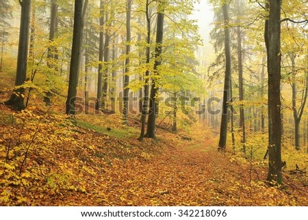 Autumn beech forest in a foggy weather. - stock photo