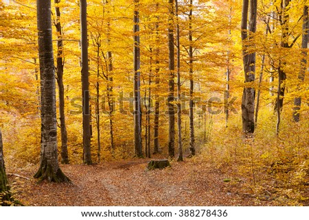 Autumn beech forest in the Carpathian Mountains