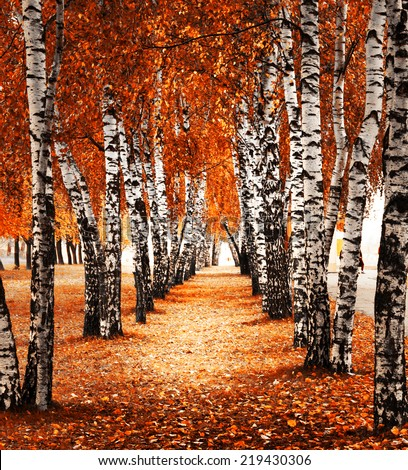 Autumn birch forest - stock photo