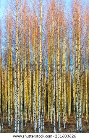 Autumn birch forest  - stock photo
