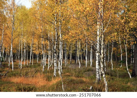 Autumn birch grove. Colorful fall forest