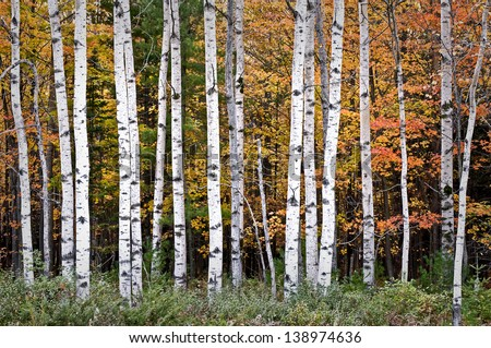 Autumn Birches Warm sunset light on autumn birch trees at Peninsula State Park in Door County, Wisconsin. - stock photo