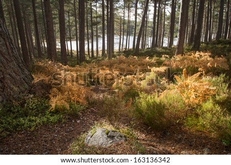 Autumn bracken glows in the sun as the forest gives way to Loch an Eilein - stock photo